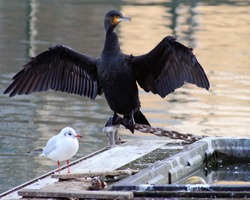 A cormorant , wings fully stretched, towers over a much small sea bird, a herring gull. These birds were spotted together at Sovereign Harbour in Eastbourne