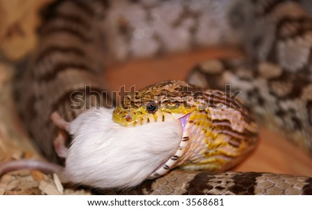 A Corn Snake Eating A Mouse.