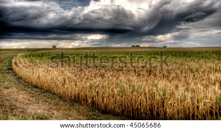 A cornfield before a heavy rain