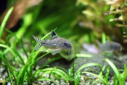 A Corydoras Trinilleatus Catfish swimming in a planted tropical aquarium.  Space for copy.