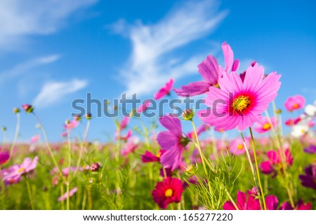 stock photo a cosmos flower face to sunrise in field 165277220 - Каталог — Фотообои «Цветы»