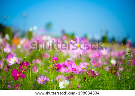 A cosmos flower face to sunrise in field #198034334