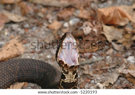 A cottonmouth snake displaying how it got the name cottonmouth. This is a defense display.