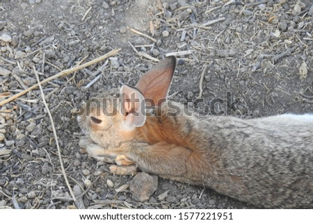 A cottontail rabbit resting in the coolness of the shade, Merced County, California.