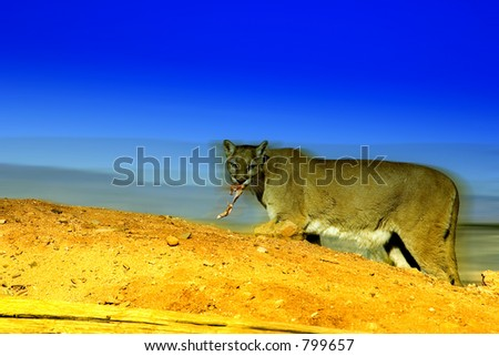 A cougar hunting (exclusive at shutterstock) - stock photo