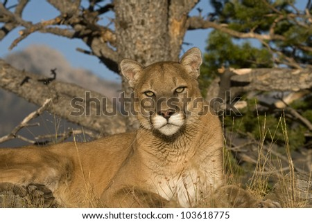 A Cougar Sits Under a Tree For a Rest