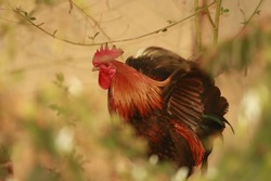 A country cock of a village is on a tour of picking up food on the ground. Shows off it's beautiful fooliage and feathers