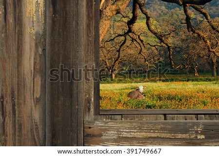 A country photography landscape scene looking through a barn with weathered wood and a calf and oak tree in the background.