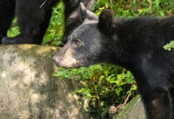 A couple Black Bear cubs wandering aroung with mamma along the creek bed in the Great Smoky Mountains