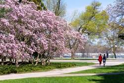 A couple enjoys the beautiful magnolias white taking exercise at Niagara Falls, Canada during the latest provincial lockdown.