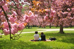 a couple going on picnic and enjoying cherry blossoms viewing