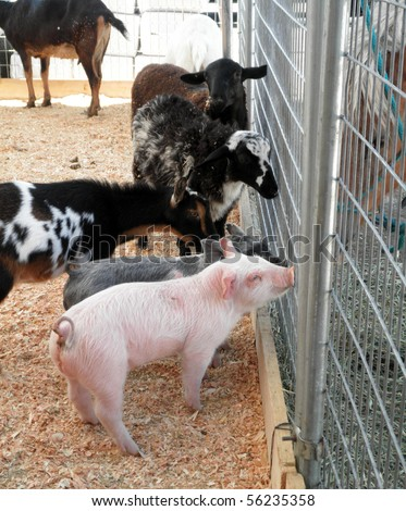a couple of baby pot bellied pigs, goats and sheep ask horses for advice through a fence at a petting zoo at a county fair