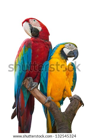 A couple of beautiful macaws on white background