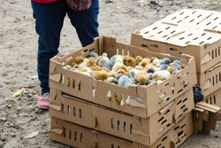 A couple of boxes and cardboards full of baby chicks for sale the animal market at Otavalo, Ecuador