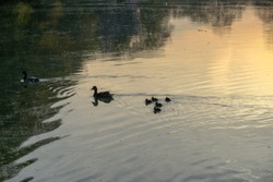 A couple of Canada goose swimming in a lake with their gosling - Image