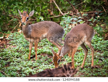 A couple of dik-dik antelopes, in Africa. Lake Manyara national park, Tanzania