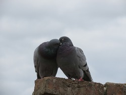 a couple of domestic pigeon animal of phylum Chordata, clade Ornithurae, class Aves (birds)