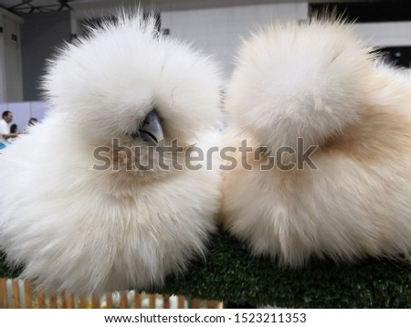 a couple of fluffy chickens