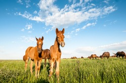 A couple of foals in the meadow. Horse foal on pasture. A herd of wild horses shown on Water island in atmospheric Rostov state reserve