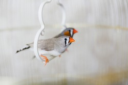A couple of grey and white zebra finch birds in a light white cage.