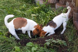 A couple of Jack Russell terriers digging a dog hole in backyard, outdoors. Dogs playing outdoors in the park