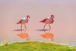 A couple of James Flamingo (Phoenicoparrus jamesi) wading through the waters of the Laguna Colorada (Red Lagoon), Uyuni Salt Flat Desert, Bolivia.