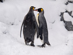 a couple of lovely King Penguins