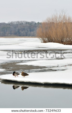 a couple of male and female mallards (Anas platyrhynchos) walking on Ice-covered lake in Madison, Wisconsin