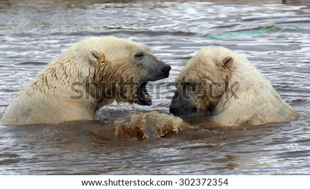 A couple of male Polar Bears sparring in water