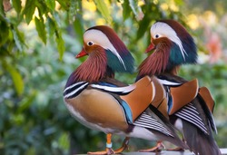 a couple of mandarin ducks resting together after the long day.