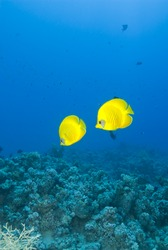 A couple of masked Butterflyfish (Chaetodon semilarvatus) against a blue background. Ras Katy, Sharm el Sheikh, Red Sea, Egypt.