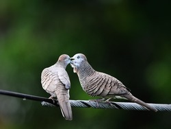 A couple of Peaceful Doves or Zebra Doves are caressing on electrical wire nearby my house in rural area of Thailand. Lovely and happy wild animals in natural habitat with nature green background.