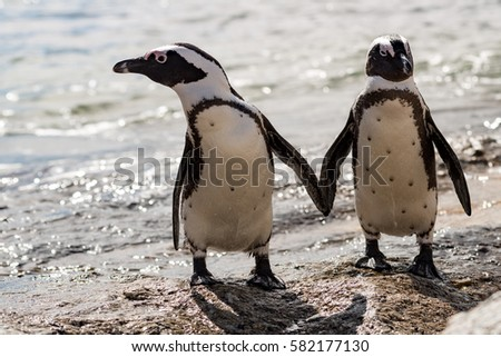 A couple of Penguins at Boulders Beach-Simon´s Town /Capetown