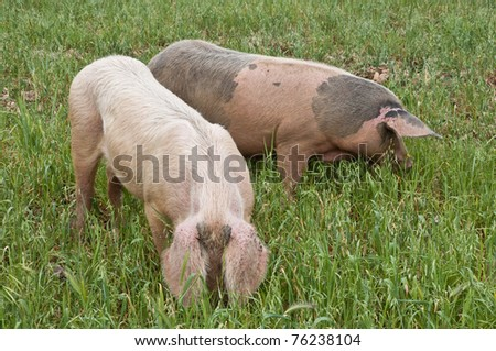 A couple of pigs grazing in a field