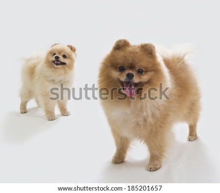 Stock Photo A couple of pomeranian dogs posing together. Image taken in a studio.