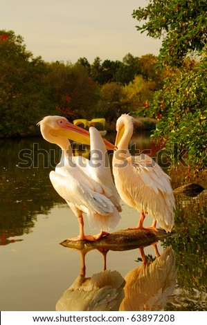 A couple of Rosy Pelicans at the Luise Park in Mannheim, Germany
