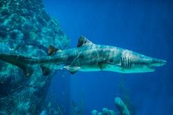 A couple of Sand Tiger Sharks (Carcharias taurus) swimming underwater. Underwater nature sea life. Aquarium. Sealife wallpaper. Travel inspiration. Postcard concept.