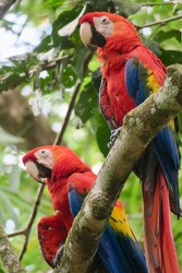 A couple of Scarlet Macaws standing on a branch in the rainforest of Costa Rica