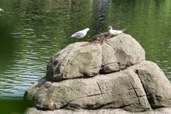 A couple of seagull birds in love sits on a stone next to a beautiful lake. A bird in a nest incubates an egg.