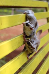 a couple of sugargliders share love each others. in the citypark. for wallpaper or background some commercial.