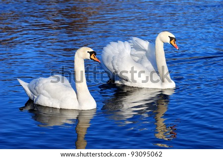 Stock Photo a couple of swans in the blue lake water