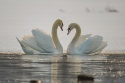 A couple of swans together in love.