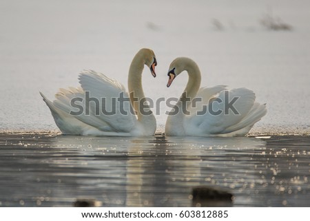 Stock Photo A couple of swans together in love.