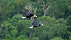 A couple of wreathed hornbills flying above the deep forest in Thailand