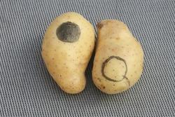 a couple of yin yang potatoes isolated