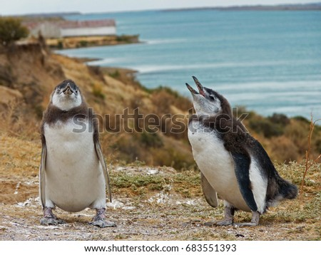 A couple of young Magellanic penguins calling for their parents by the sea. Spheniscus magellanicus. The picture was taken in Valdez Peninsula, Argentina