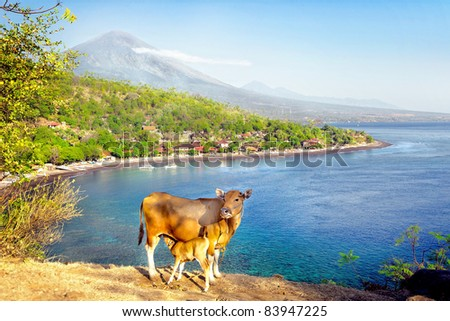 A cow and a calf in Bali with a background of Mount Agung