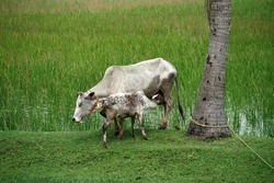 A cow and her calf milking in a green field