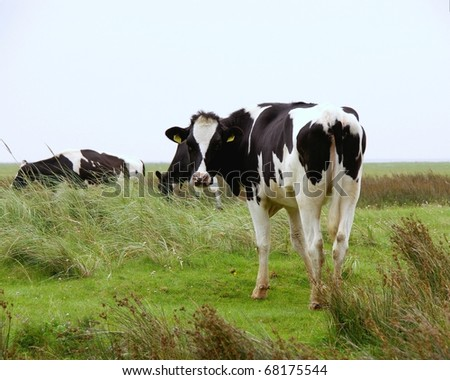 A cow at the wetlands of the island Schiermonnikoog in the Netherlands