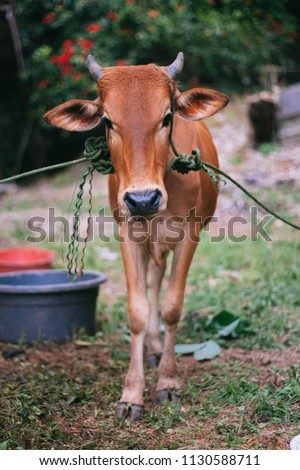 a cow for preparation to sacrifice for slaughter tradition in Eid Adha celebration in islam #1130588711